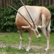 Stock Video: Oryx (Scimitar-horned oryx gazella)