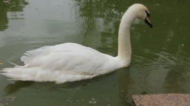 Cisne blanco — Vídeo de Stock