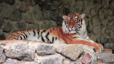 Amur tiger — Stock Video