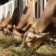 Livestock sector — Stock Video