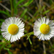 Two camomiles — Stock Photo