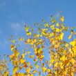 Yellow autumnal leafs — Stock Photo