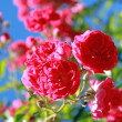 Stock Photo: Rose bush
