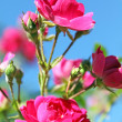 Rose bush — Stock Photo