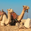 Camels — Stock Photo #13314534