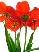Excellents tulipes — Photo