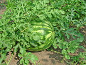 зеленый арбуз — Стоковое фото