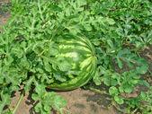 绿色西瓜 — 图库照片