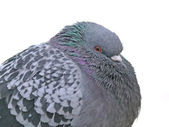 Downy rock pigeon — Stock Photo