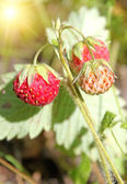 Wild strawberries — Stockfoto