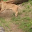 Stock Video: Aggressive lionesses