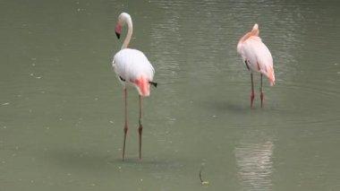 Pink flamingo. Phoenicopteridae — Stock Video
