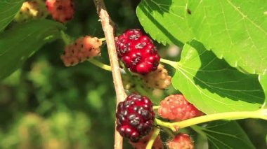 Red-ripe mulberry in garden