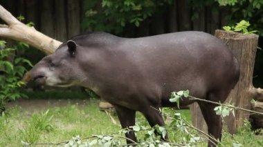 South american Tapir. Tapirus Terrestris — Stock Video