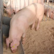 Pigs — Stock Video #13391880