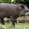 South american tapir — Stock Video