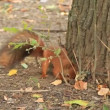 Stock Video: Squirrel with walnut