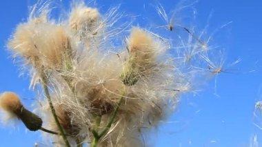 Wild dandelion — Stock Video
