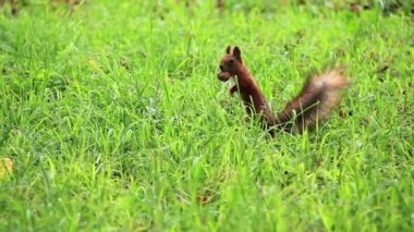 Squirrel with walnut in grass