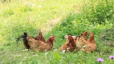 Chicken family — Stock Video