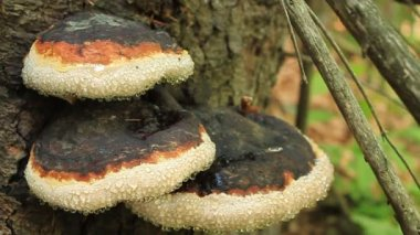 Parasitic fungi — Stock Video