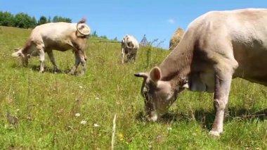 Herd of cows — Stock Video