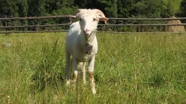 White sheep — Vidéo