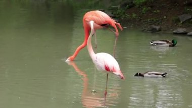 Pink flamingo — Stock Video