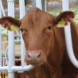 Cows on agro-industrial exhibition — Stock Video