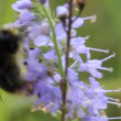 Stock Video: Bumblebee at work
