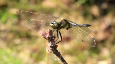 Dragonfly — Stock Video