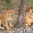 Video Stock: AfricLions