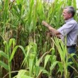 Agricultural worker in a corn field — Stock Video