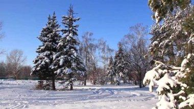 Pine-trees under snow — Stock Video