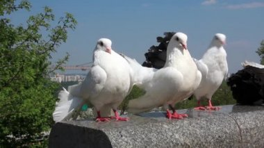 Beautiful white peacock pigeons — Stockvideo