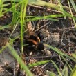 A bumblebee in its burrow — Stock Video