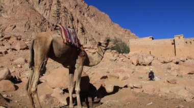 Camels at Mount Sinai, Egypt — Stock Video