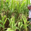 Stock Video: Agricultural worker in corn field