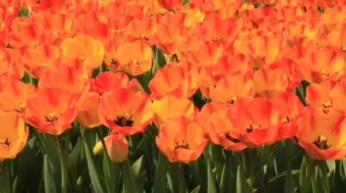 Tulips — Stock Video