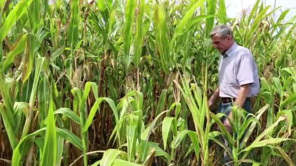 Trabajador agrícola en un campo de maíz — Vídeo de stock
