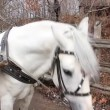 White horse in harness — Stock Video #20290507
