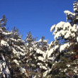 Stock Video: Pine-trees under snow