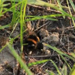 Stock Video: A bumblebee in its burrow