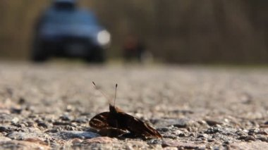 A butterfly rests by a road — Stok video