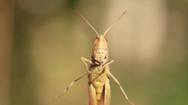 Grasshopper — Stockvideo