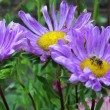 Worker bee on purple flowers — Vídeo Stock #21493151