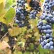Grape-gathering — Stock Video