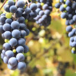 Stock Video: Grape-gathering