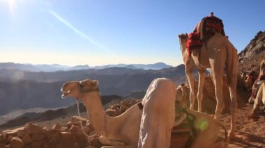 Camels. Mount Sinai. Egypt — Stock Video