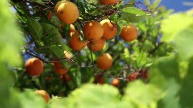 Orangery — Stock Video